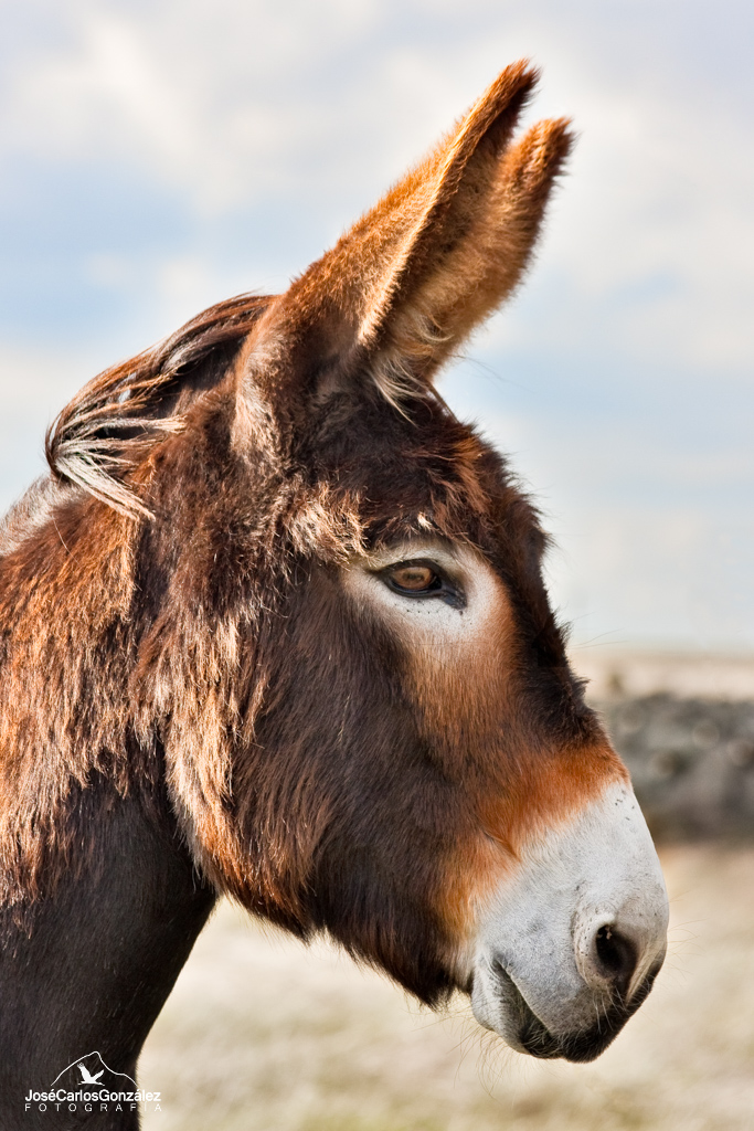 Zamorano leonés donkey