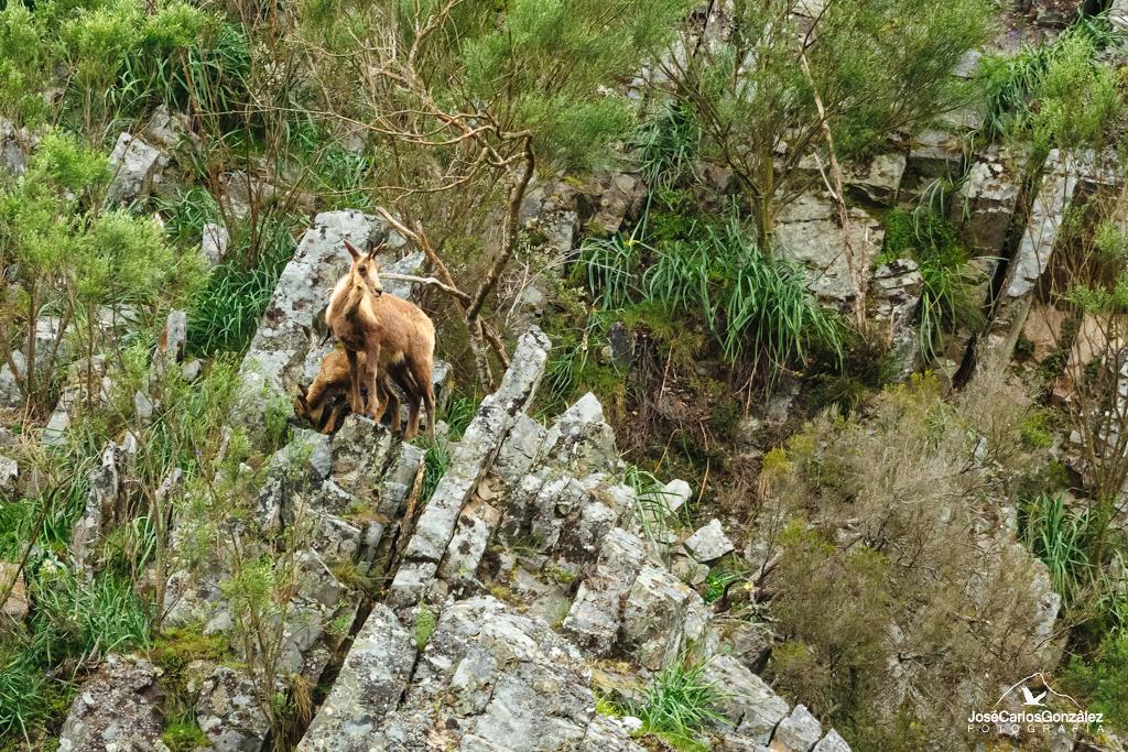 Cantabrian Chamois