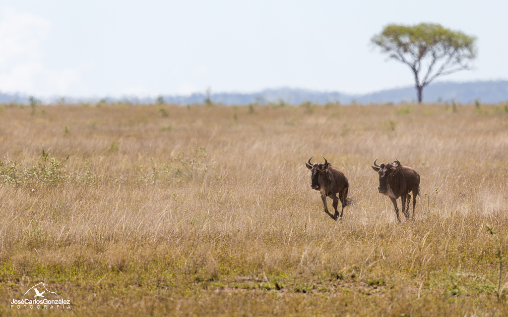 Blue wildebeests