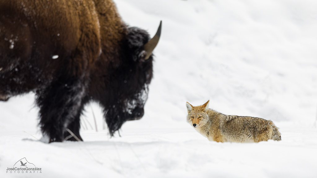 Coyote and bison