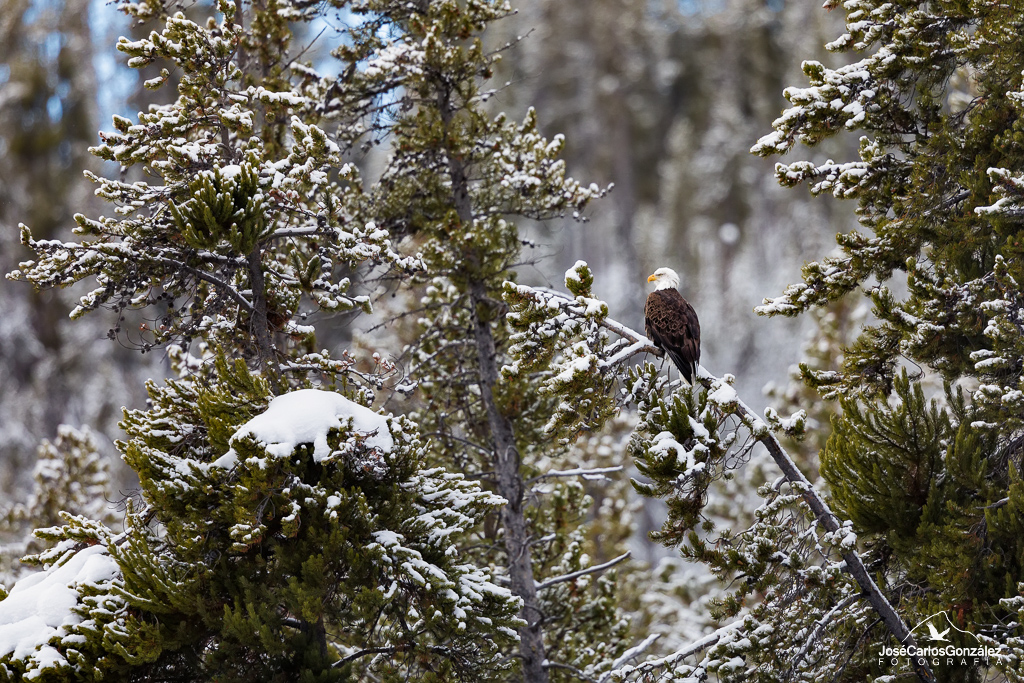 Yellowstone - Águila calva