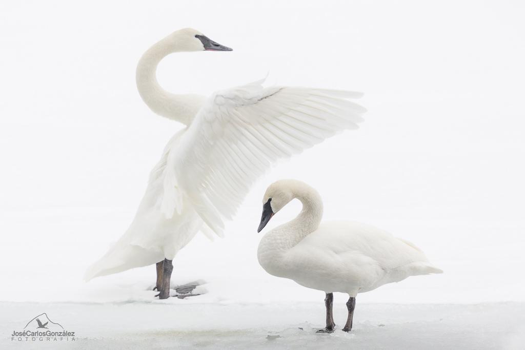 Yellowstone - Cisne trompetero