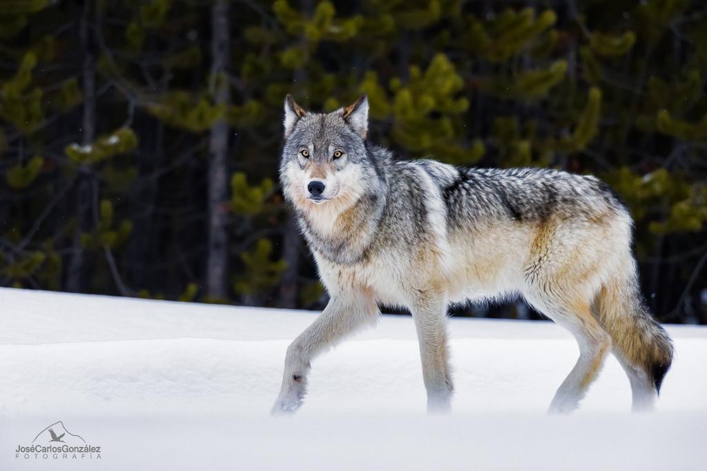 Yellowstone - Lobo