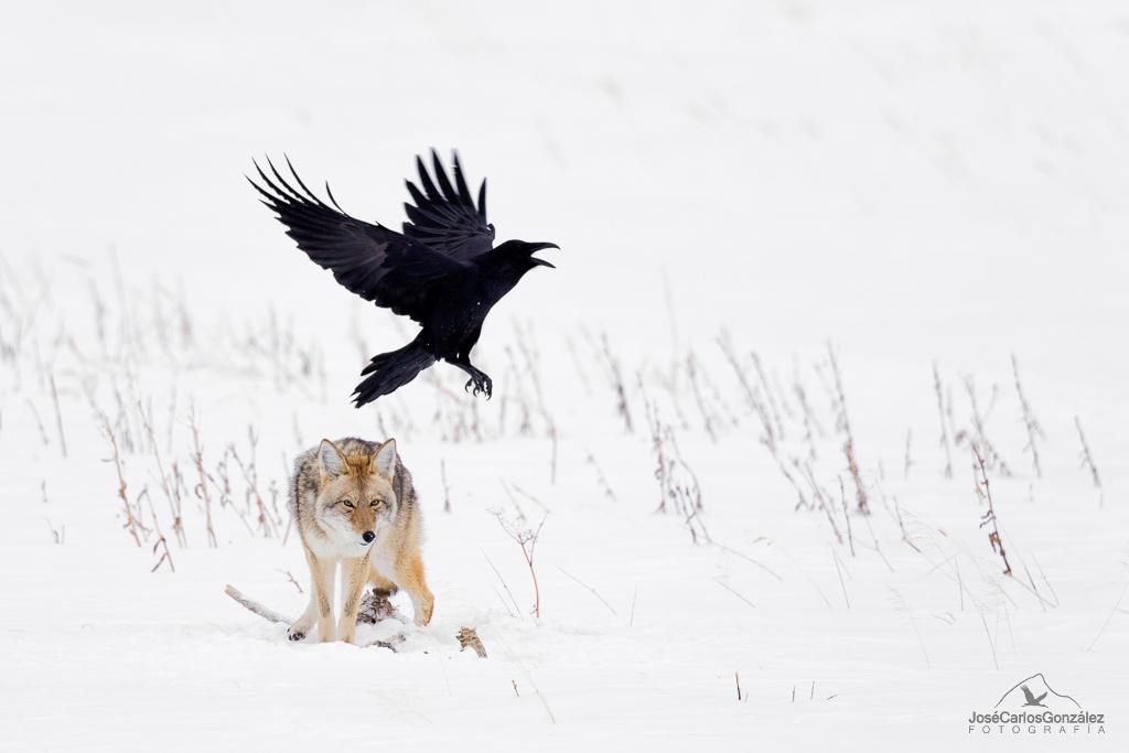 Yellowstone - Coyote y cuervo