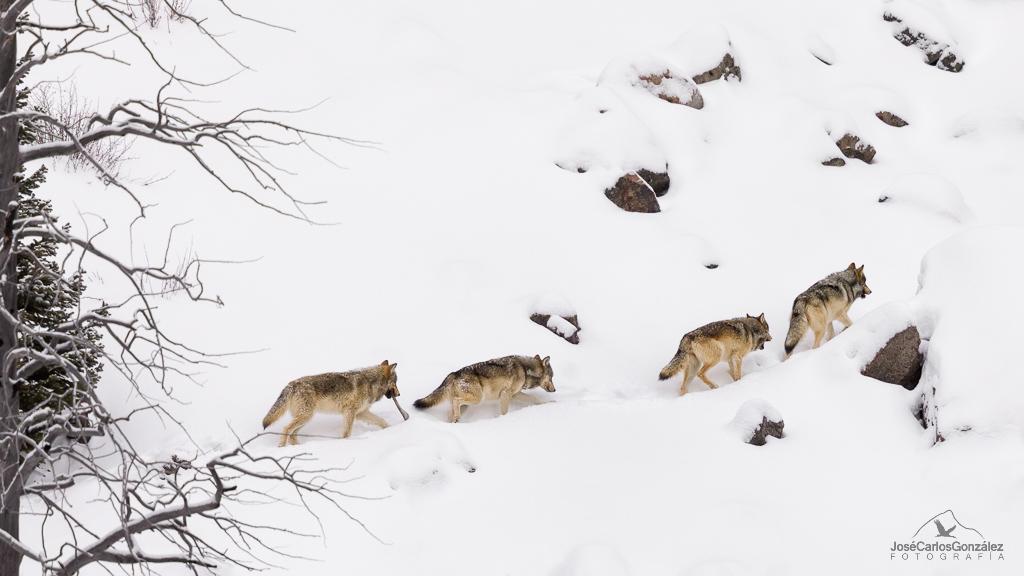 Yellowstone - Manada de lobos