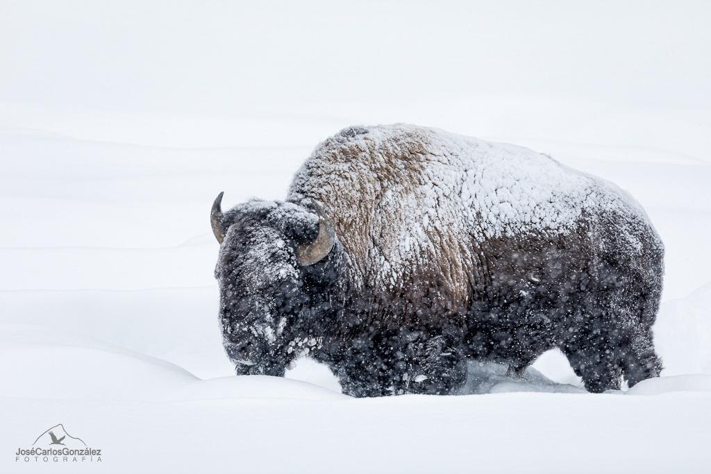 Yellowstone - Bisonte americano