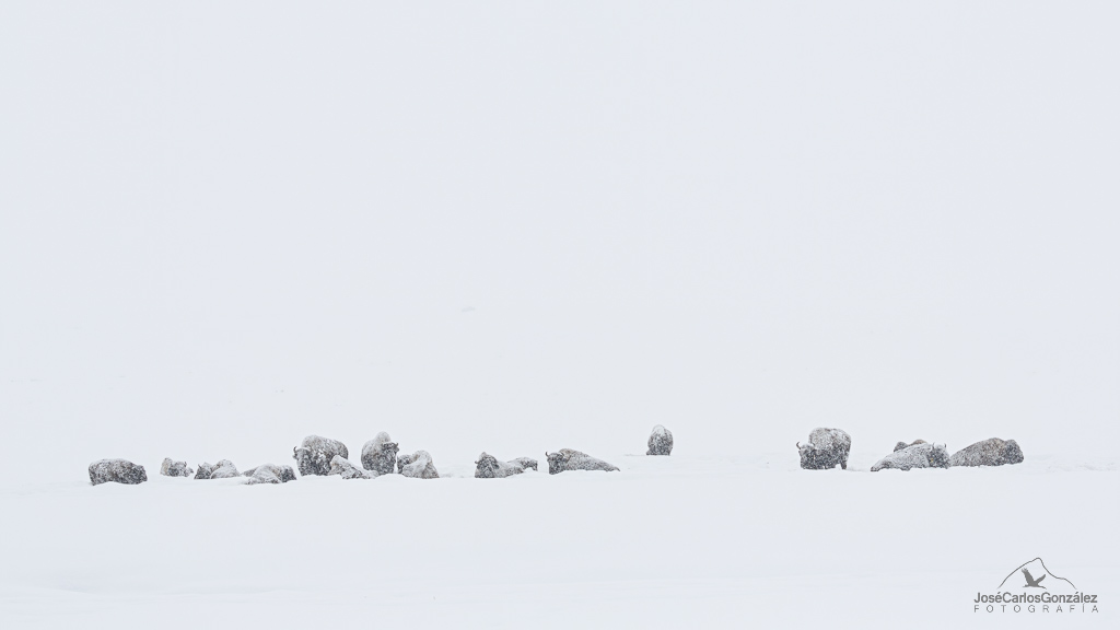 Yellowstone - Bisontes americanos