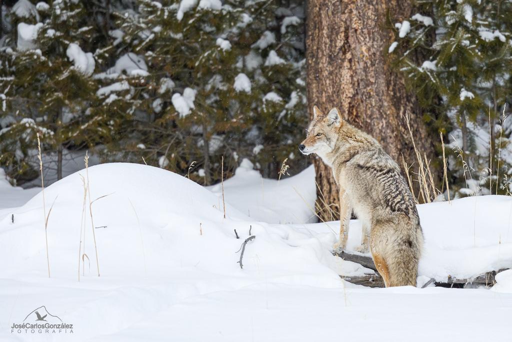 Yellowstone - Coyote