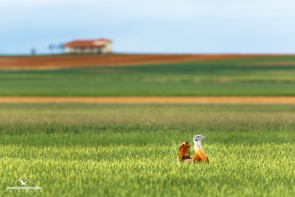 The Great Bustard and the hermitage
