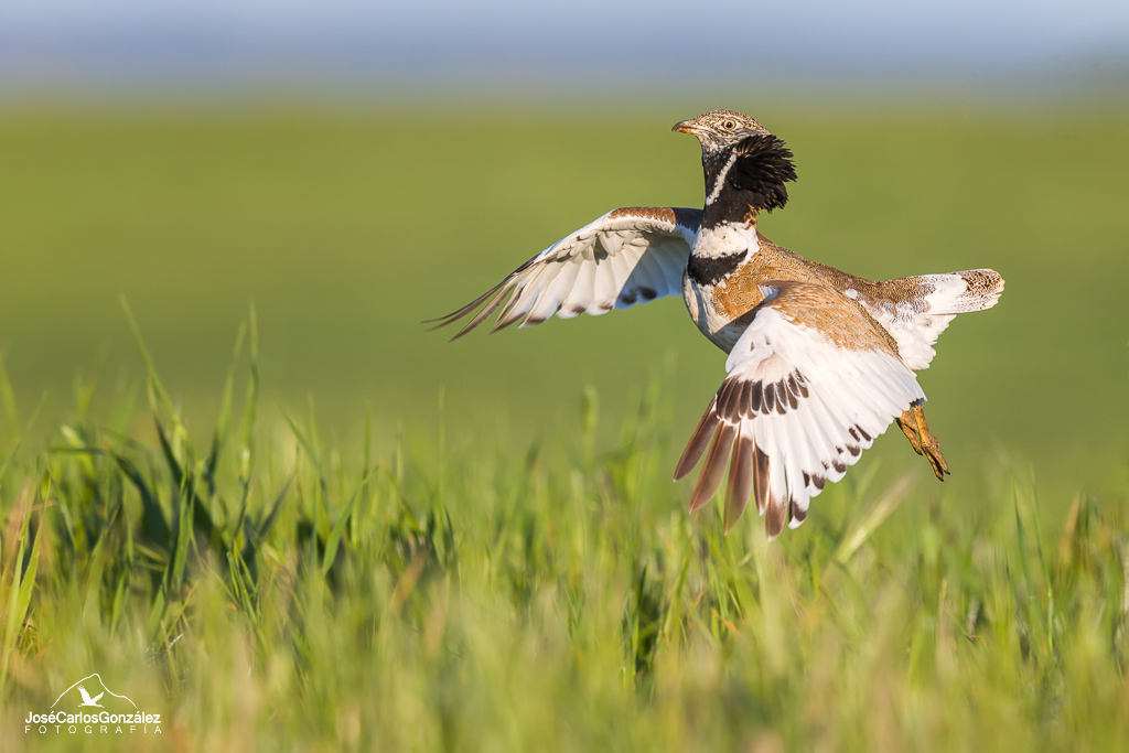 Little bustard