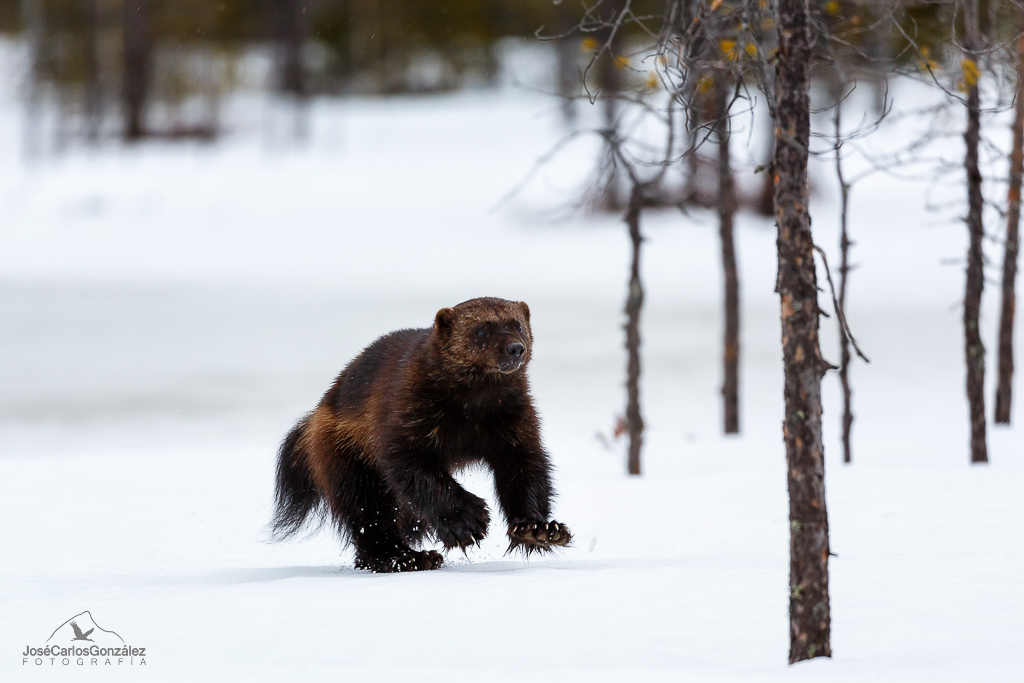 Wild Brown Bear Centre - Glotón