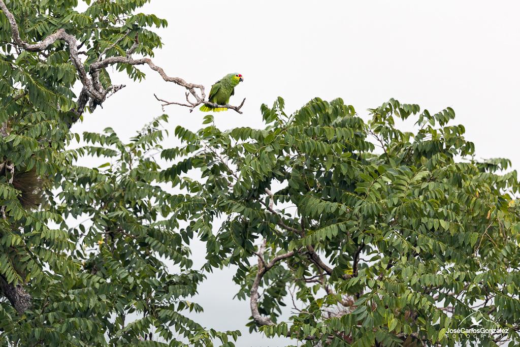 Amazona frentirroja