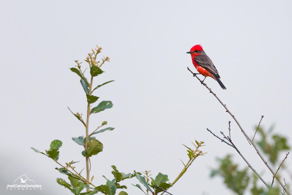 Mosquero cardenal