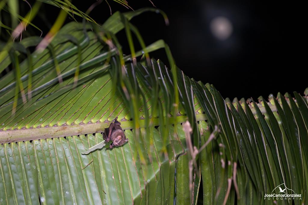Murciélago frugívoro de Jamaica