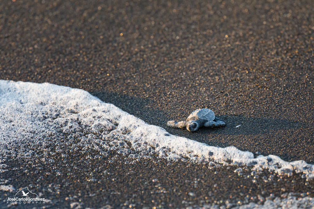 Suelta al océano de tortugas oliváceas