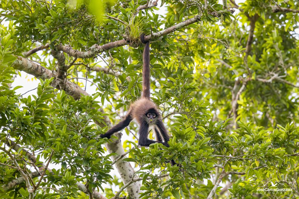 Mono araña de Geoffroy