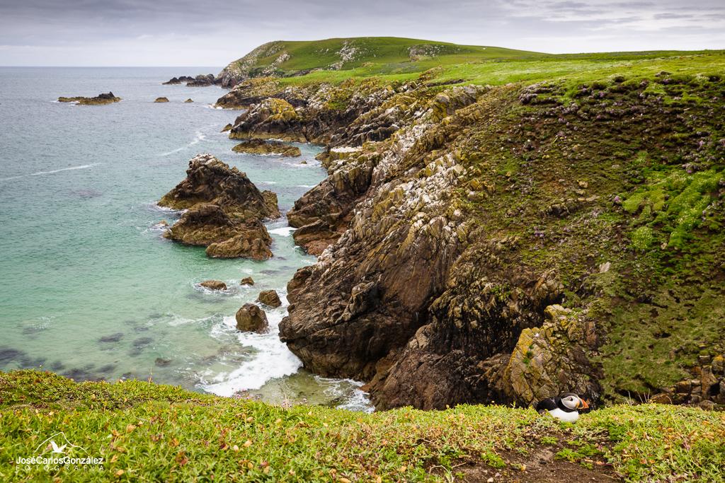Islas Saltee - Frailecillo en la isla Great Saltee