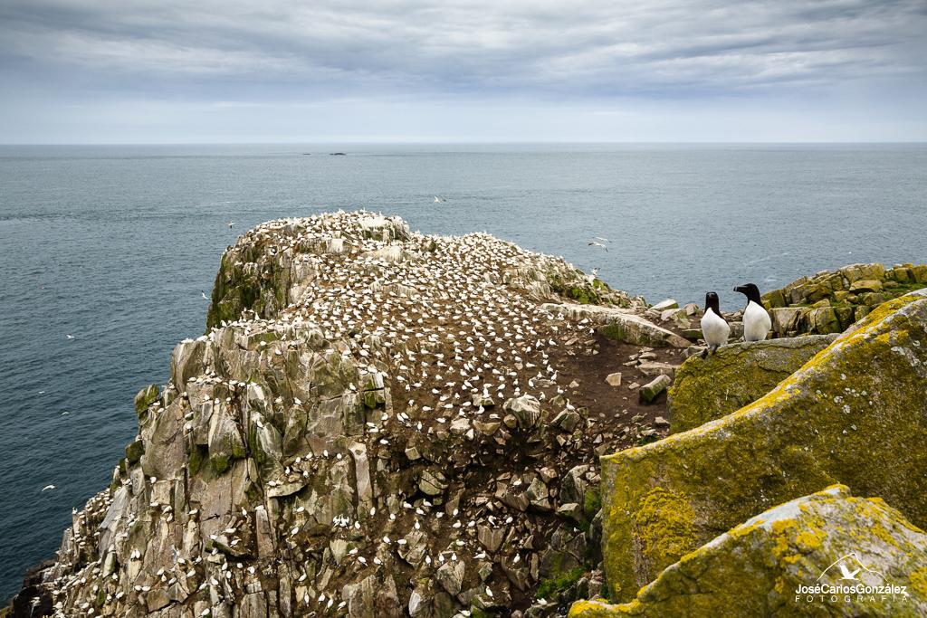 Islas Saltee - Pareja de alcas y colonia de alcatraces
