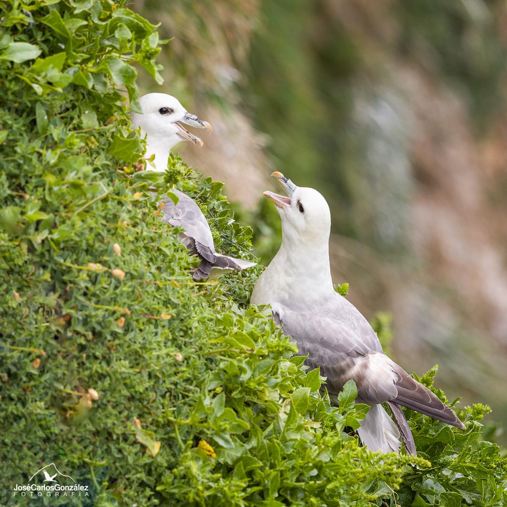 Islas Saltee - Pareja de fulmar