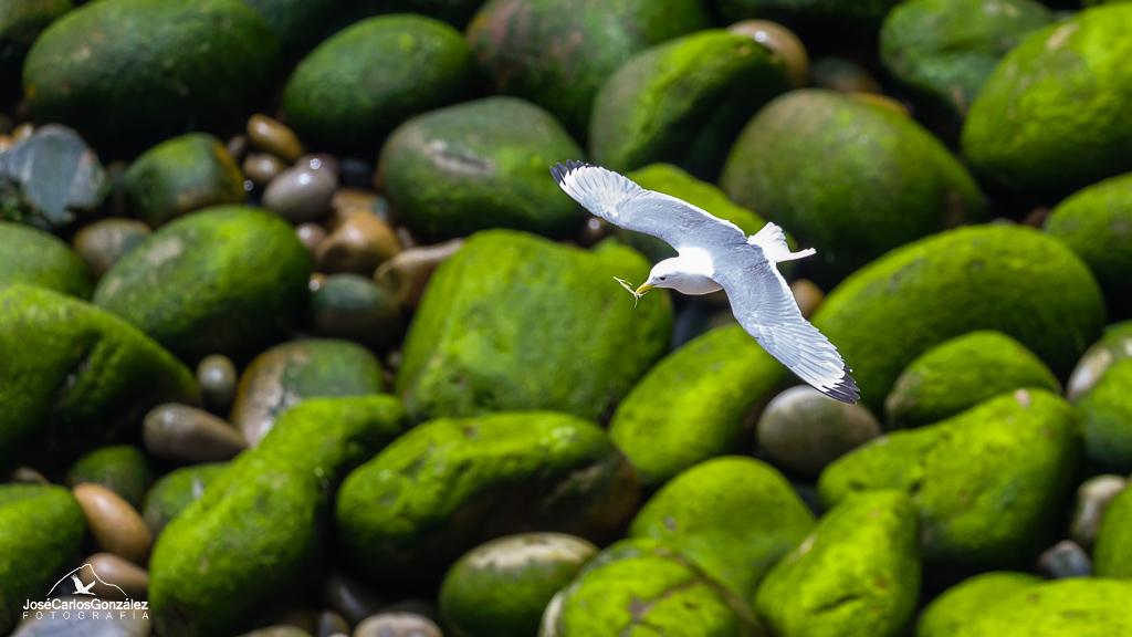 Islas Saltee - Gaviota tridáctila