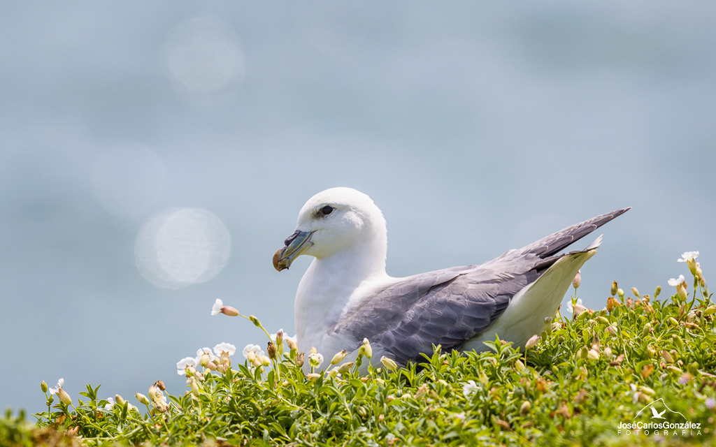 Islas Saltee - Fulmar