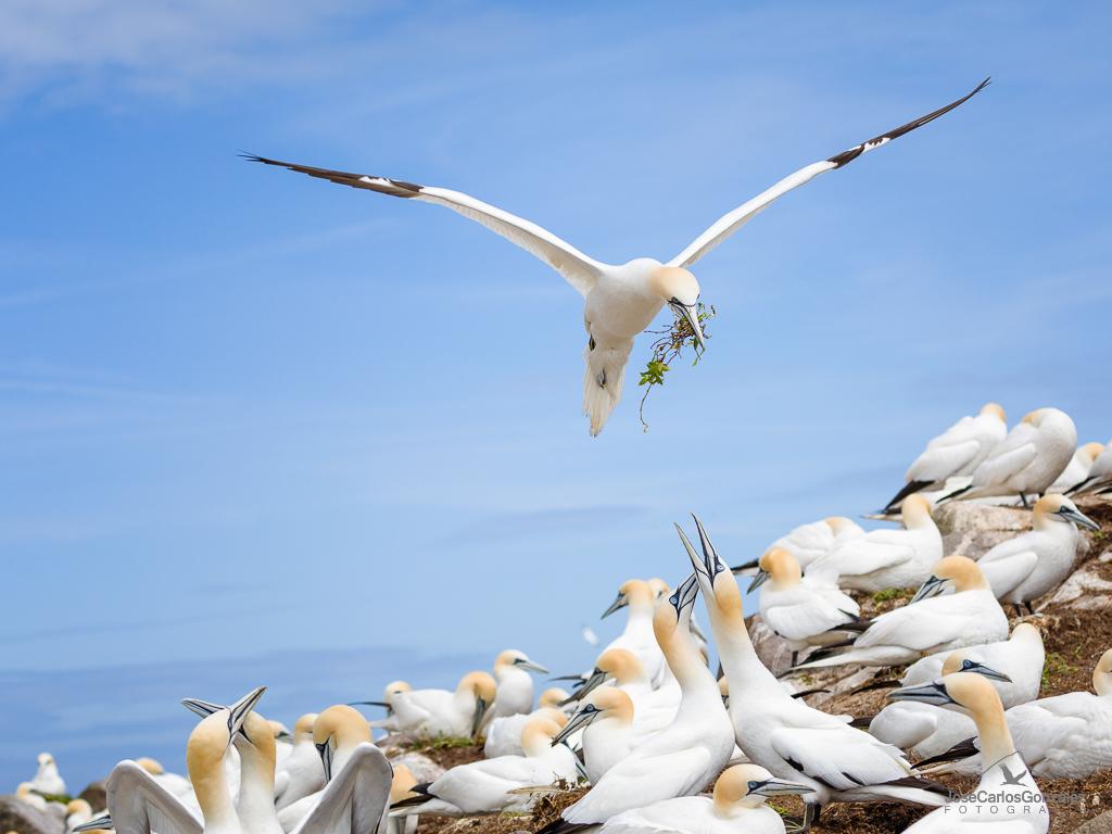 Islas Saltee - Alcatraces