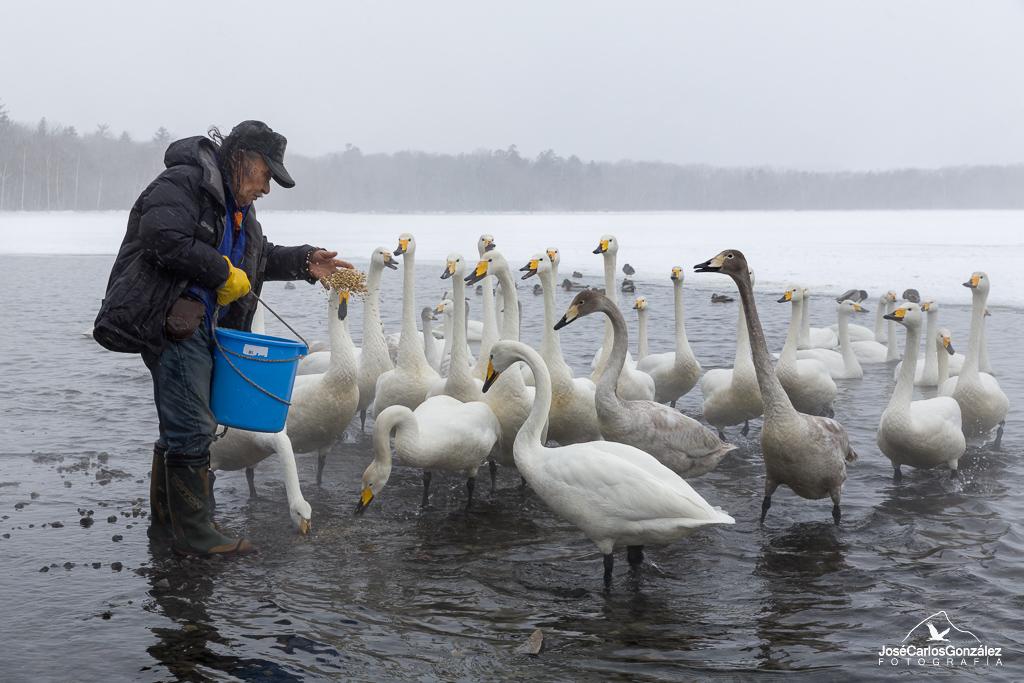 Lago Kussharo - Cisnes cantores