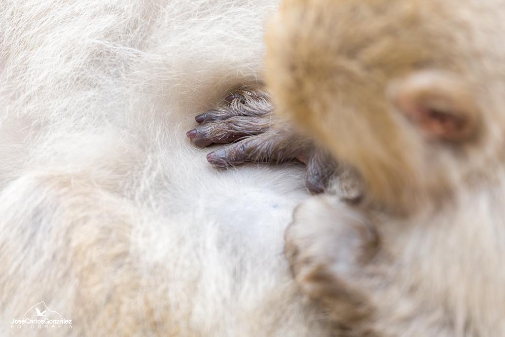 Parque de monos Jigokudani - Macacos japoneses