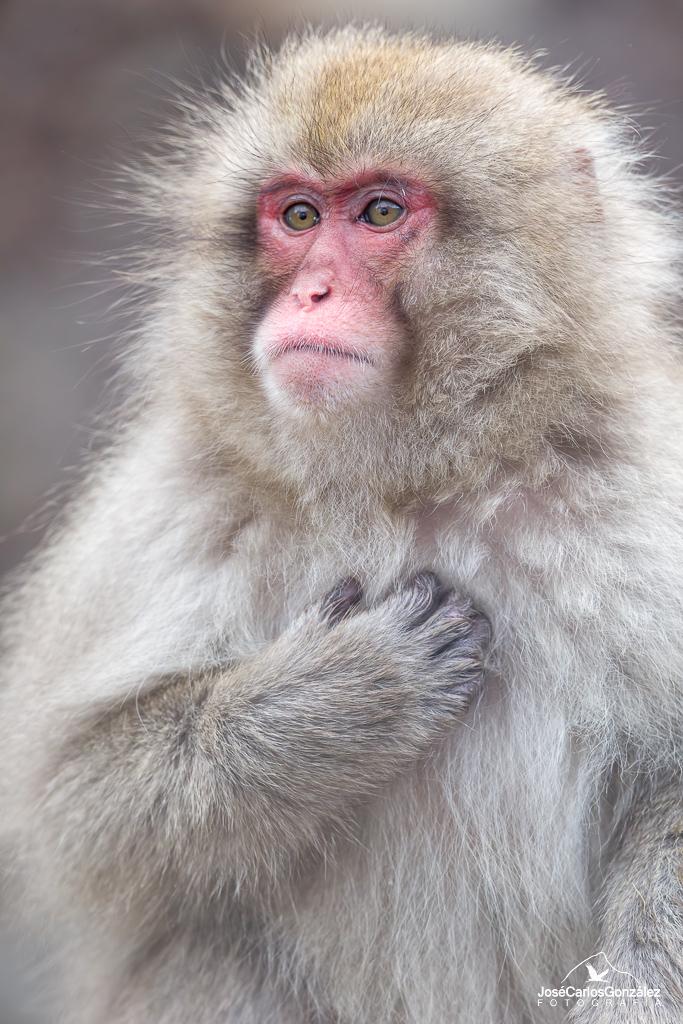 Parque de monos Jigokudani - Macaco japonés