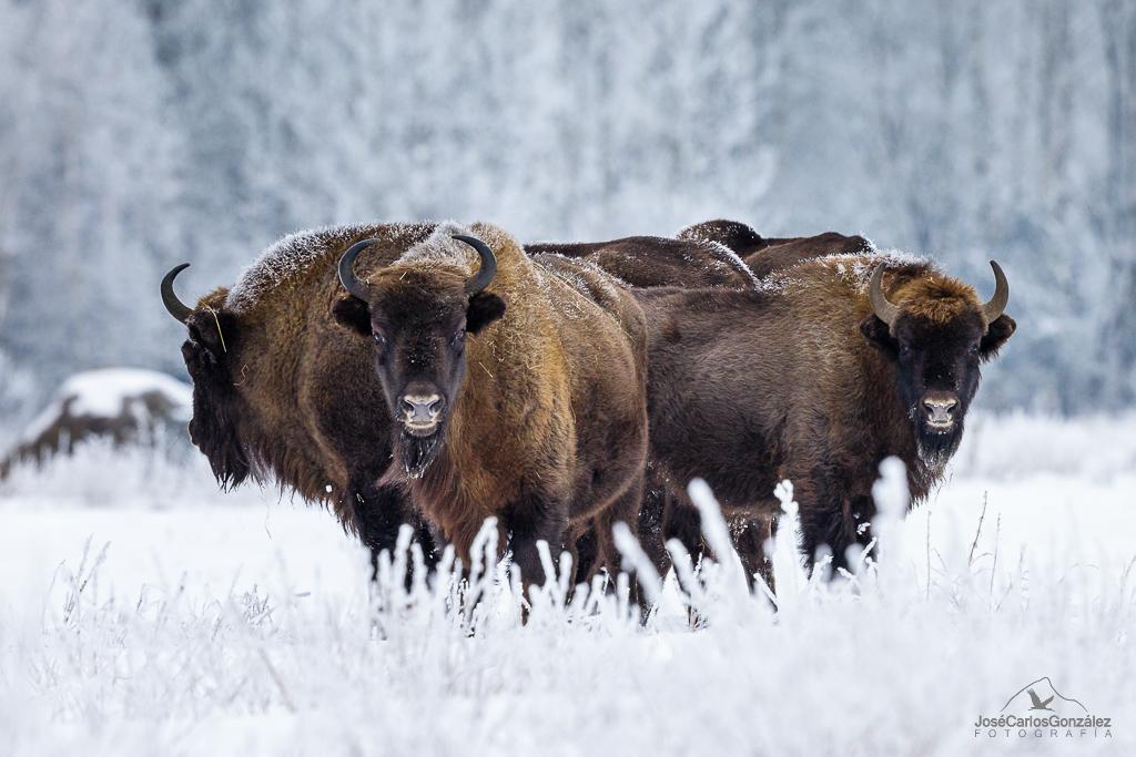 Bosque de Bialowieza - Bisonte europeo