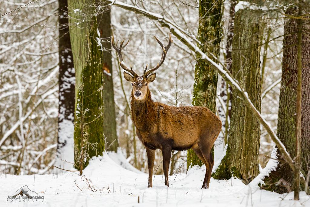 Bosque de Bialowieza - Ciervo