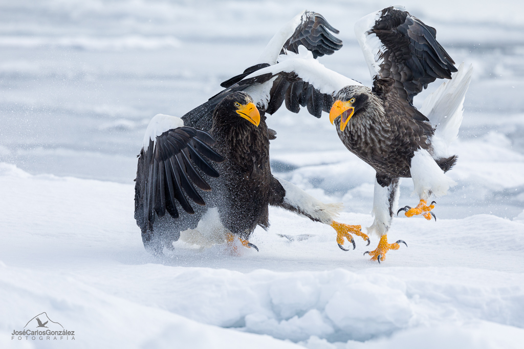 Steller's sea eagles