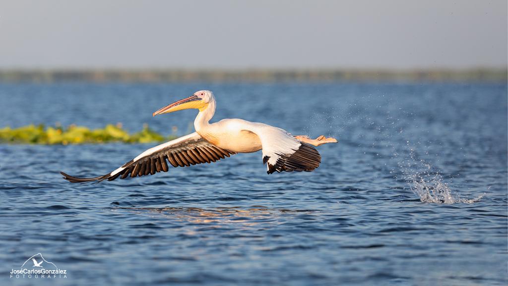 Delta del Danubio - Pelícano común en vuelo