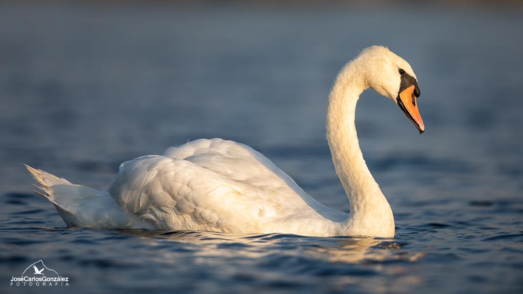 Delta del Danubio - Cisne vulgar