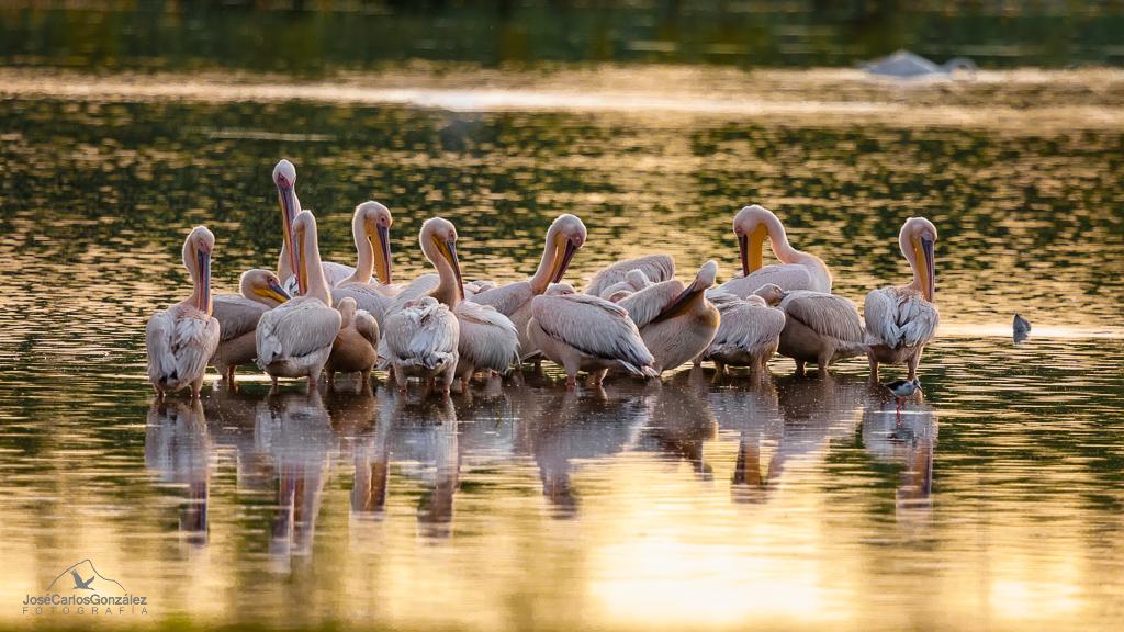 Delta del Danubio - Pelícanos comunes