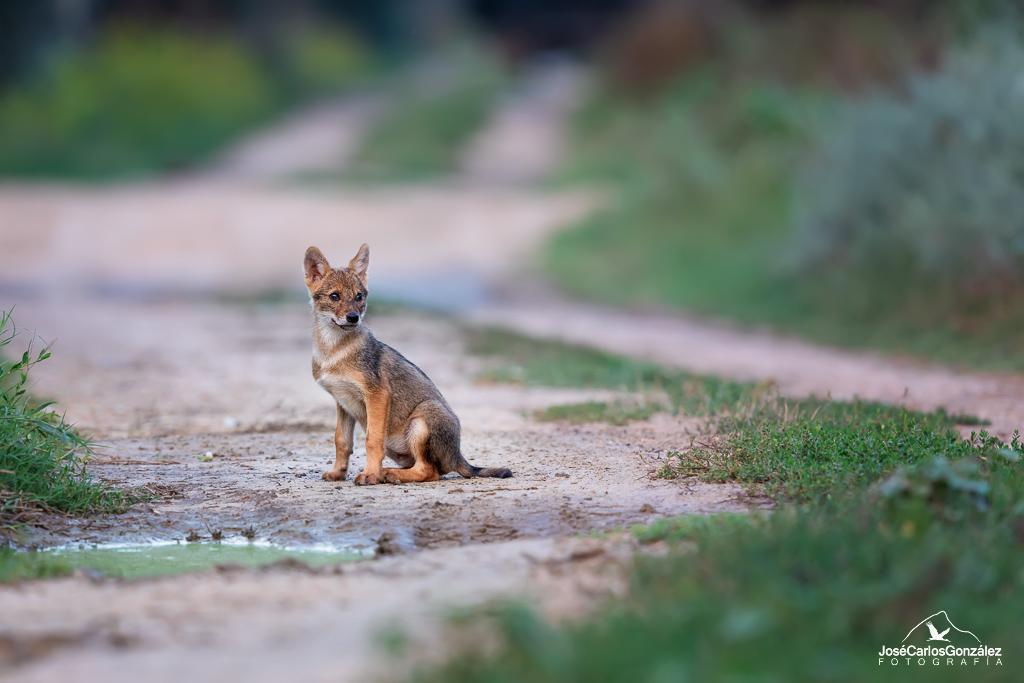 Delta del Danubio - Cachorro de chacal dorado