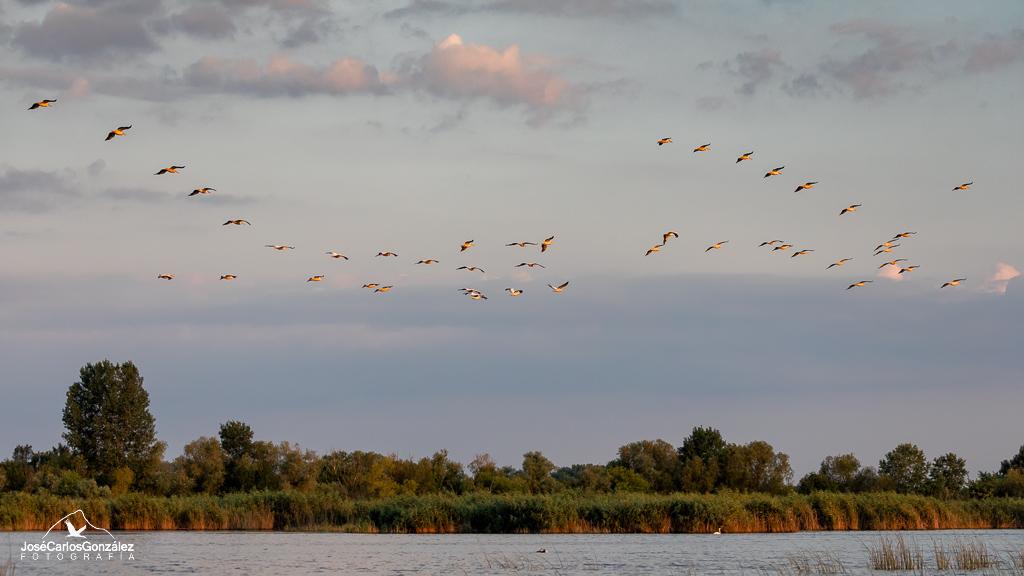 Delta del Danubio - Bandada de pelícanos