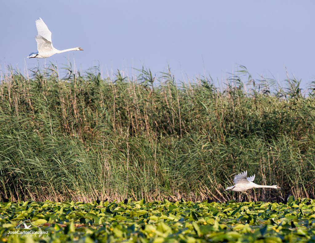 Delta del Danubio - Cisnes vulgares