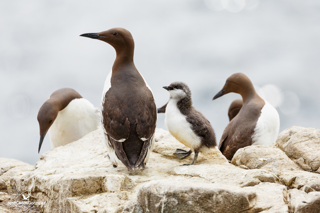Common guillemot and chick