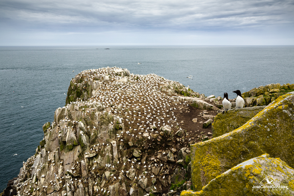 Razorbills and gannets colony