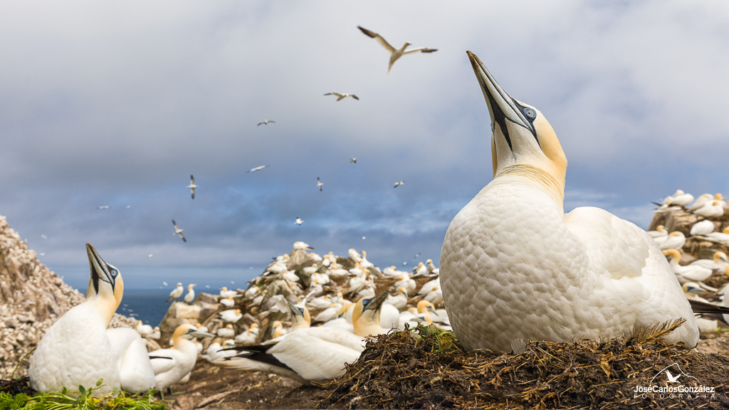 Gannets colony