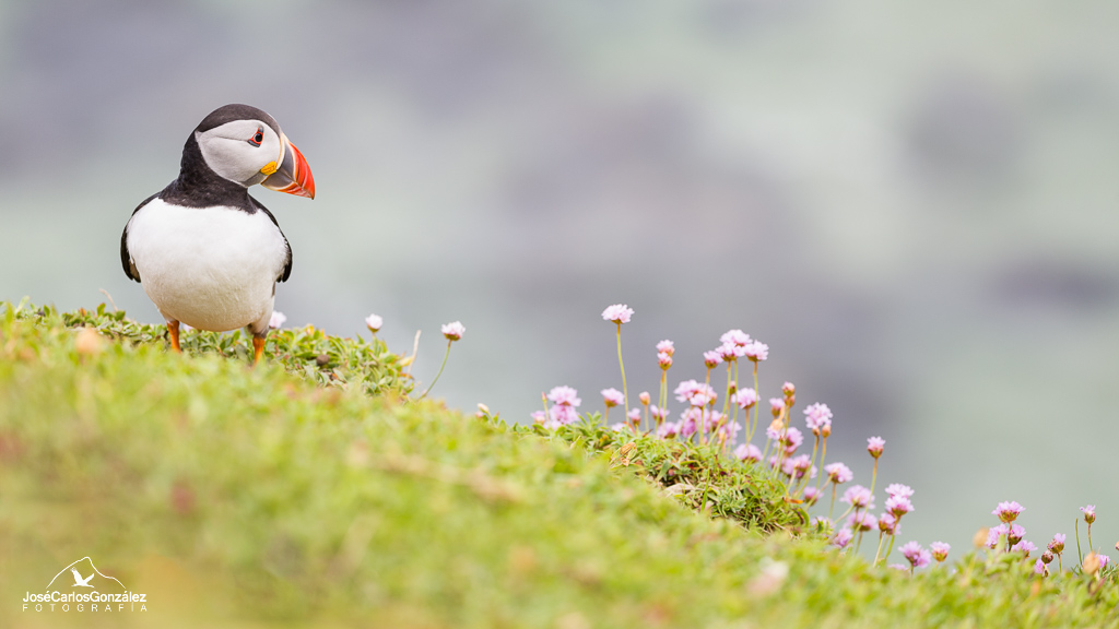Puffin and sea pink flowers