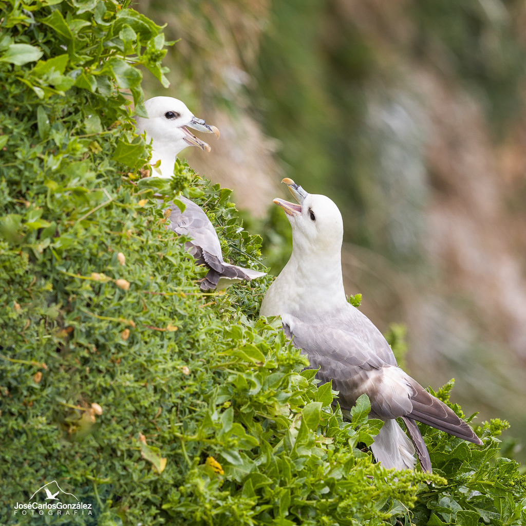 Fulmar couple