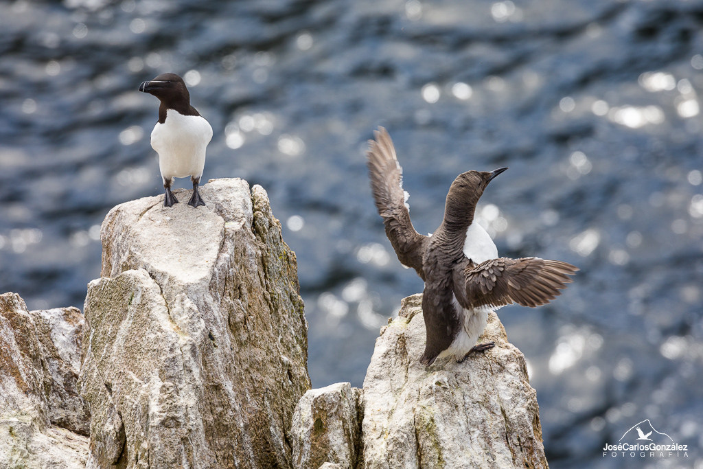 Razorbill and common guillemot