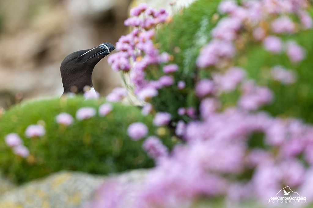 Razorbill and sea pink flowers