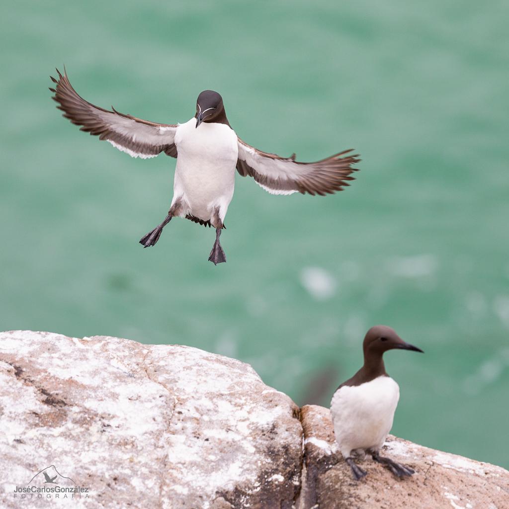 Razorbill landing
