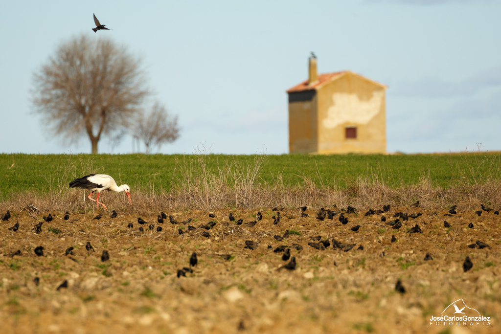 White stork and starlings