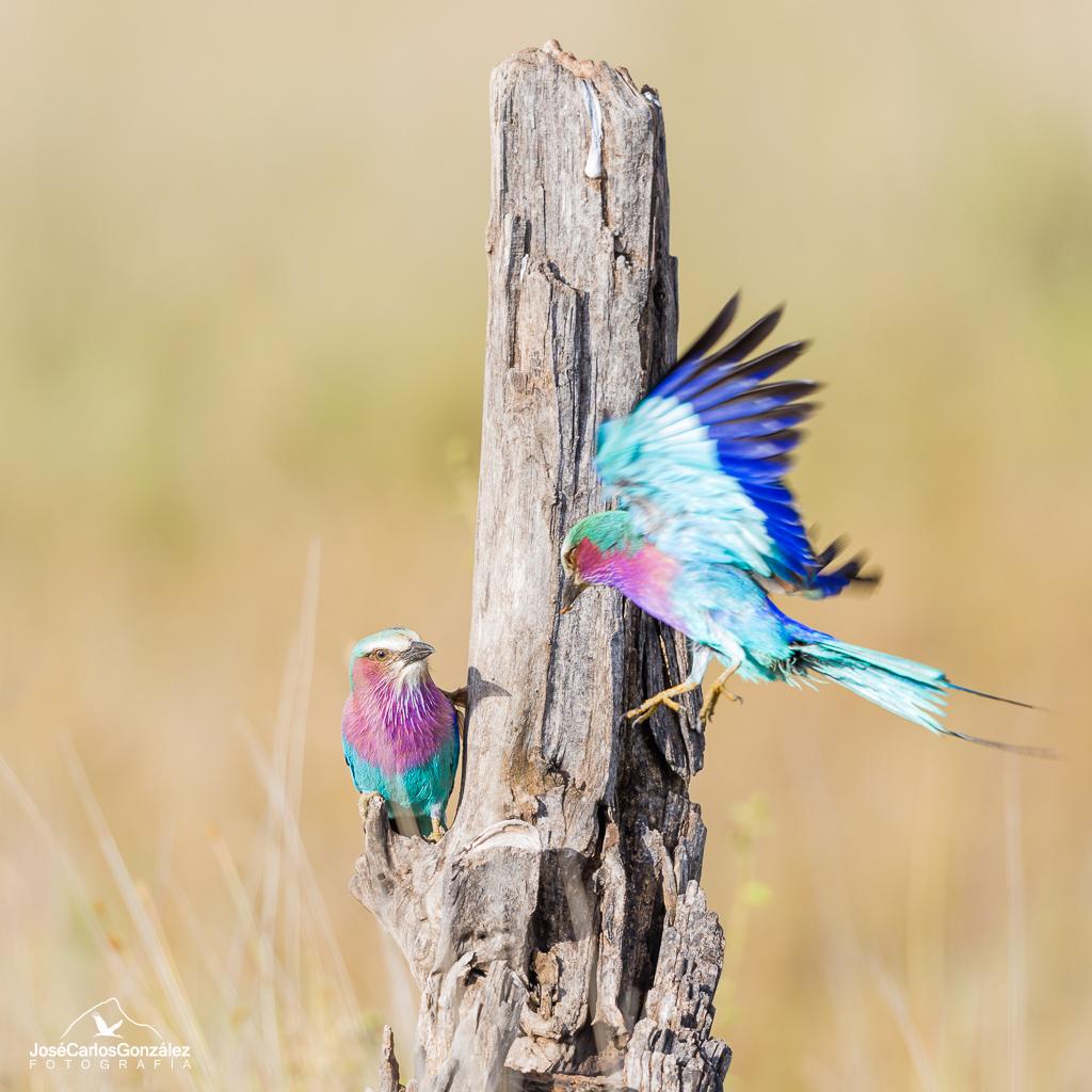 Serengueti - Carraca lila
