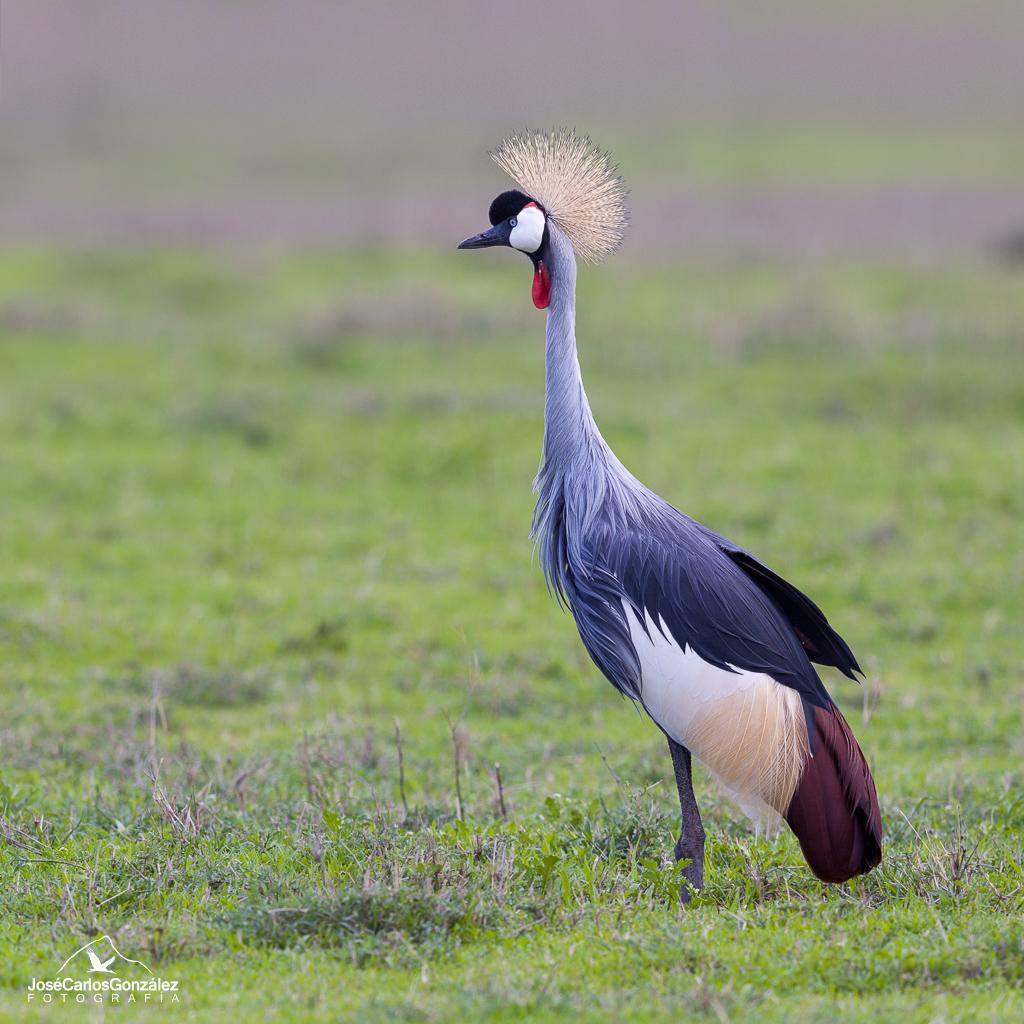 Ngorongoro - Grulla coronada