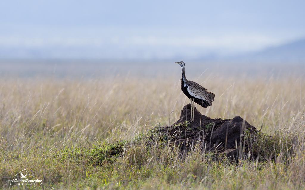 Serengueti - Sisón ventrinegro común